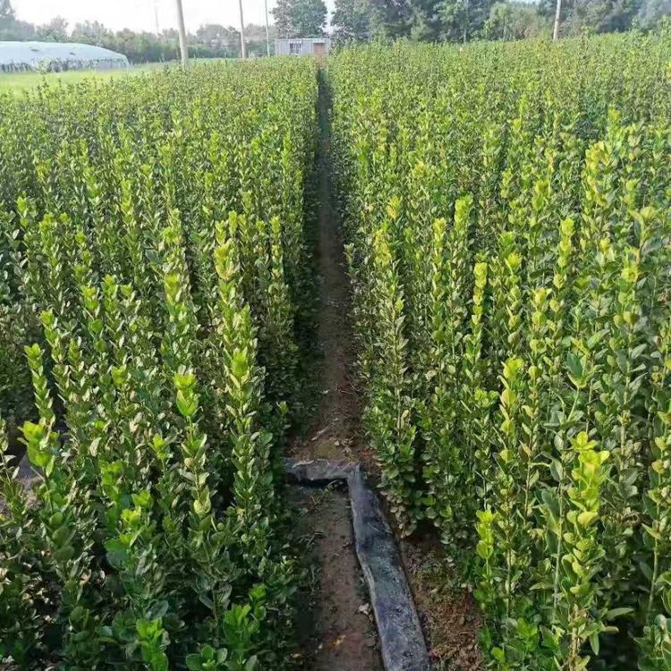 北海道黄杨批发-供应山东品种好的北海道黄杨