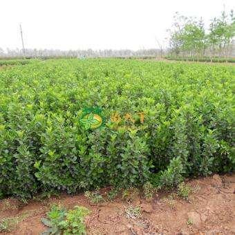 葦茅批發-優惠的地栽衛矛出售