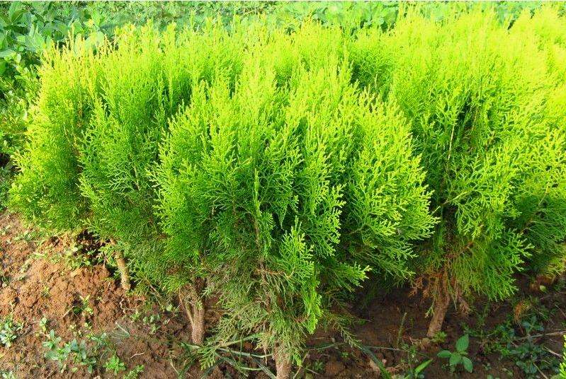沙地柏种植基地-青州沙地柏-潍坊沙地柏