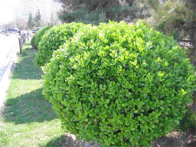 大叶黄杨批发-哪里能买到质量好的大叶黄杨