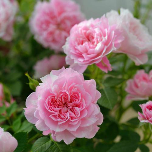 月季-青州月季盆栽苗-大量供应月季盆栽苗
