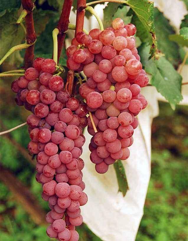 河南红提葡萄苗-优良红提葡萄苗就在雨润葡萄苗木