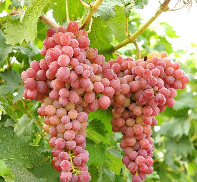 深紅無籽葡萄苗-甘肅a17葡萄苗-貴州a17葡萄苗