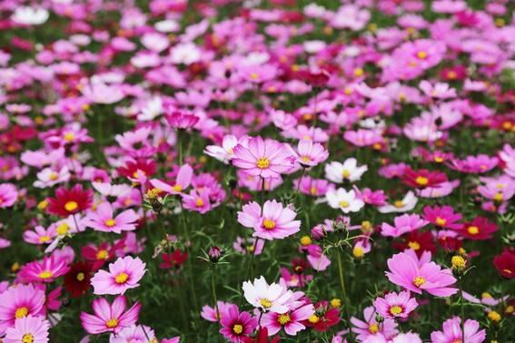 波斯菊批發||波斯菊種植基地||波斯菊小苗