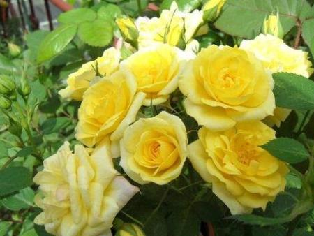 黃寶石月季|品種月季批發