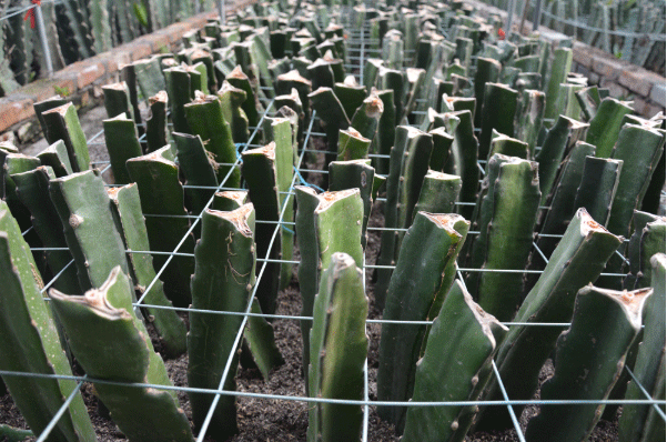 火龙果甜度种植技术-大棚种植火龙果搭什么架好