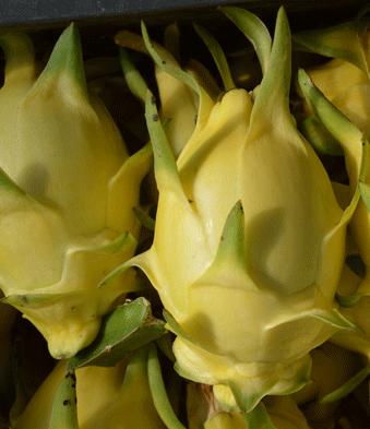 火龙果盆栽