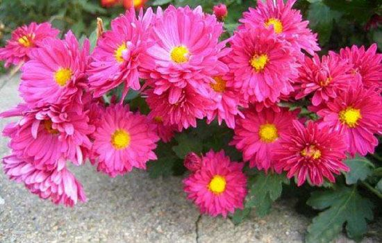 荷蘭菊花苗|荷蘭菊種植基地