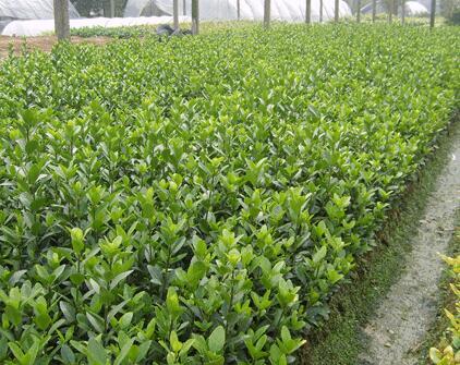 青州绿化苗木批发-为您推荐品牌好的大叶黄杨