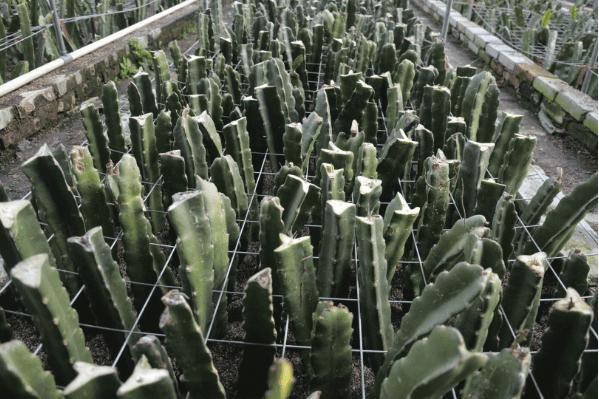 红色火龙果-来山东省绿驰农业科技-买口碑好的红心火龙果