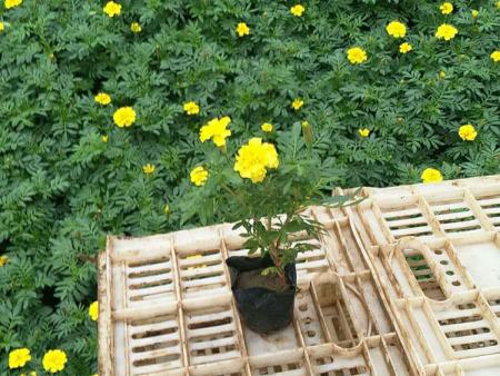 孔雀草哪里卖-北京孔雀草哪里卖-北京孔雀草哪里有