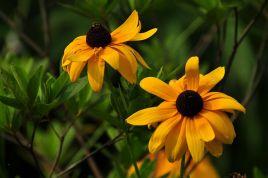 选择铁岭黑心菊 辽宁黑心菊 吉林黑心菊就来开原兴海苗圃