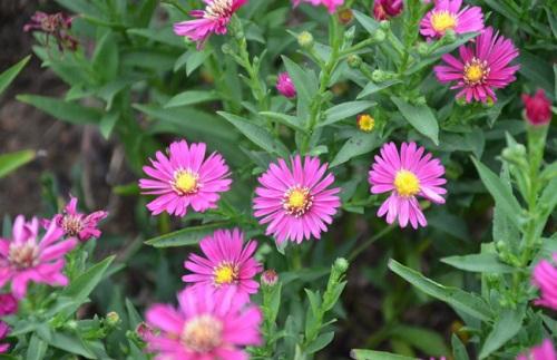 选择铁岭荷兰菊 辽宁荷兰菊 吉林荷兰菊就来开原兴海苗圃