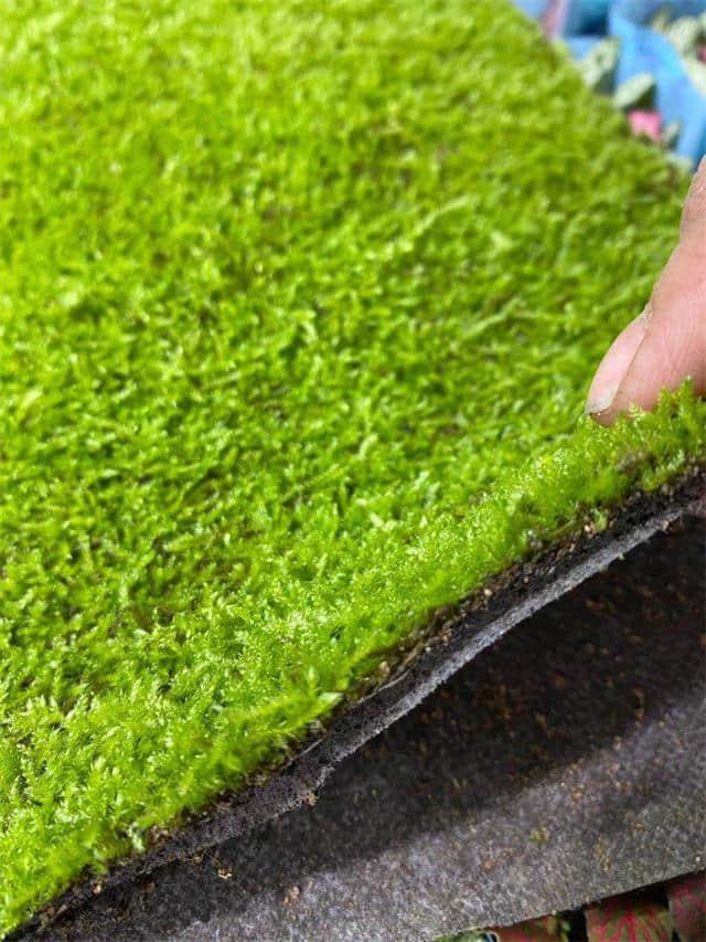 蕨類植物苔蘚液肥-供應山東高性價安艷苔蘚液肥