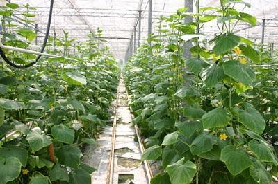 蔬菜大棚建造-山东蔬菜温室设计建设-山东蔬菜温室建设