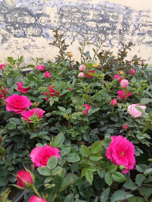 微型玫瑰价格-青州微型玫瑰哪家好-青州微型玫瑰供应商