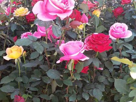 品种月季哪里有-青海多色大花月季-内蒙多色大花月季