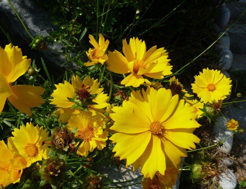 金鸡菊种植基地,金鸡菊基地,金鸡菊供应商