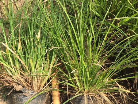 崂峪苔草供应【秋日暖心小事】崂峪苔草供货商