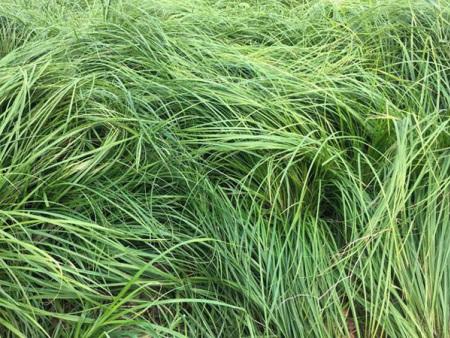 【官宣】青绿苔草出售——青绿苔草哪家好——青绿苔草供货商