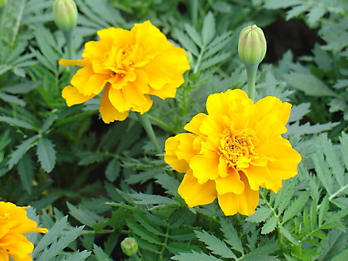 黄色孔雀草供应商,黄色孔雀草行情,黄色孔雀草品种大全