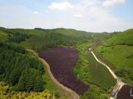 朝阳紫叶稠李苗厂家_想要优良的紫叶稠李就来雁岭沟苗木