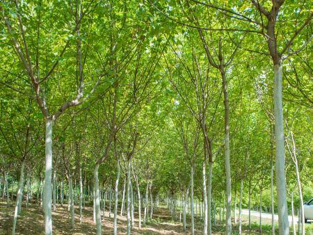 长春糖槭苗价格-雁岭沟苗木专业供应糖槭
