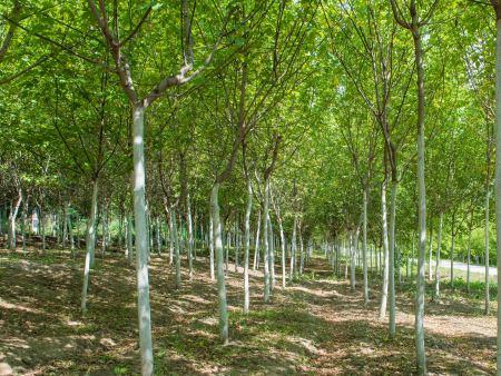大连糖槭价格-绥化糖槭-绥化糖槭厂家