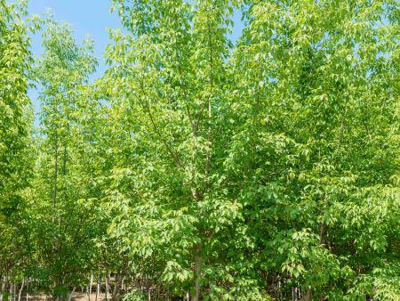辽宁糖槭:园林绿化施工要点!