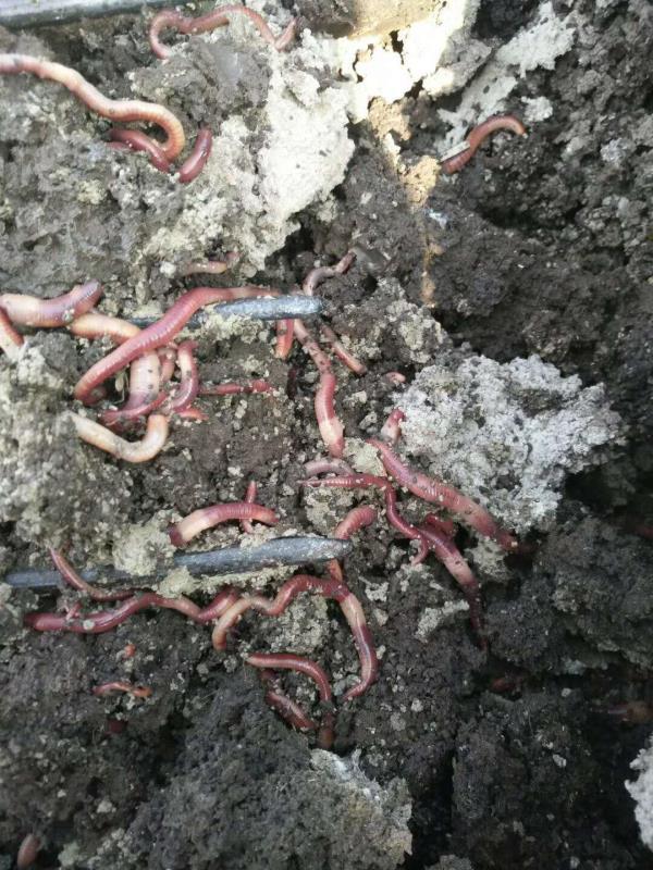 地龙生物肥厂家-高密蚯蚓粪-安徽�蚯蚓粪