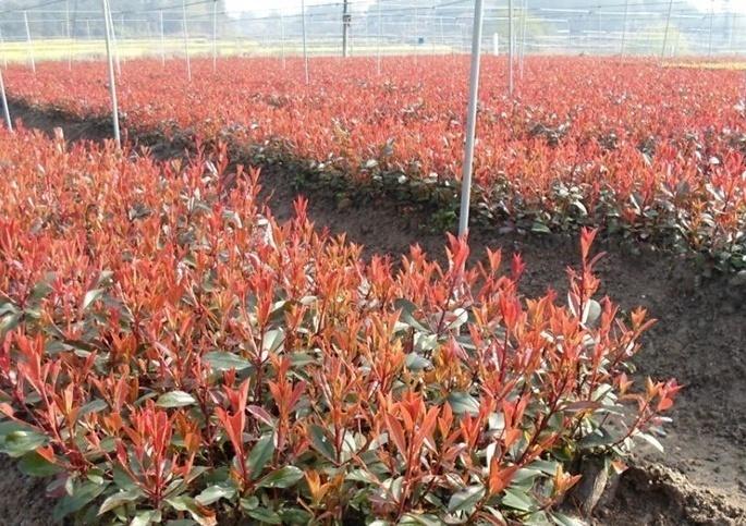 烟台红叶石楠产地-想买销量好的红叶石楠-就到森陌花卉