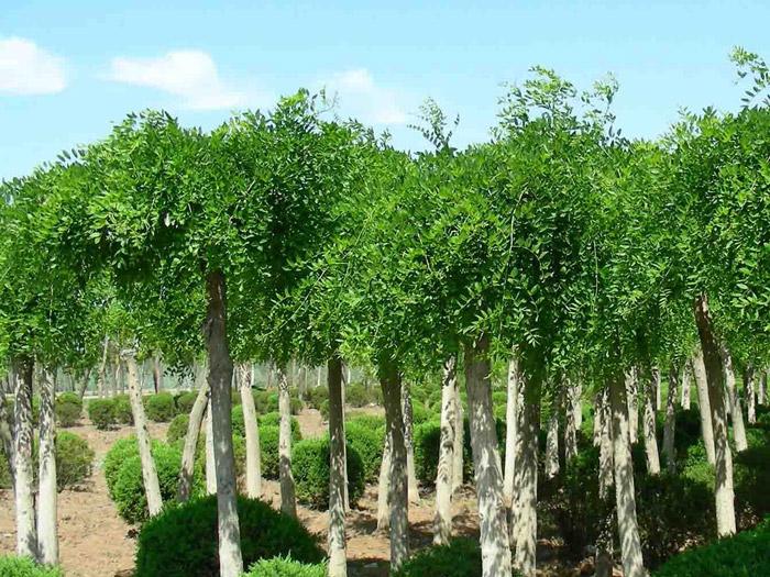 龙爪槐供应商,龙爪槐基地,龙爪槐种植基地