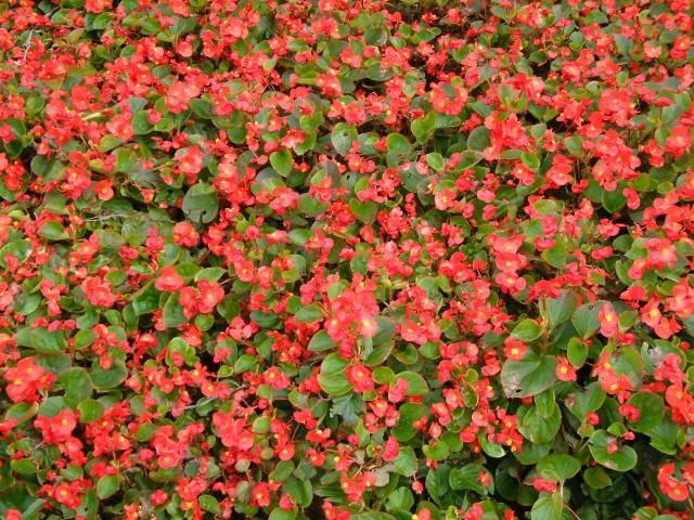 四季海棠供应,四季海棠哪里卖,四季海棠价格