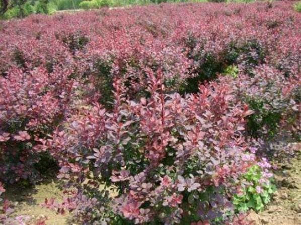 红叶小檗哪里有,红叶小檗哪家好,红叶小檗