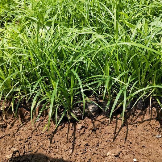 崂峪苔草批发商,崂峪苔草种植基地,崂峪苔草批发