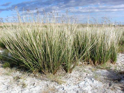芨芨草种子-优良的厂家供应-专业生产的厂家批发-厂家价格