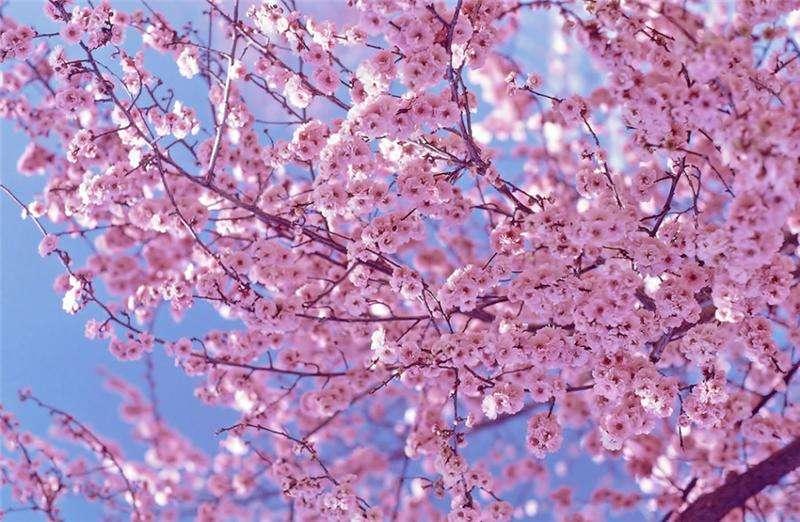 樱花批发商||樱花种植基地