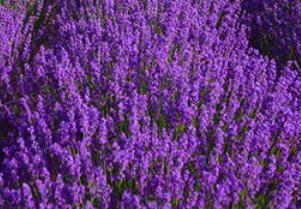 山東薰衣草價格-質量好的薰衣草市場價格
