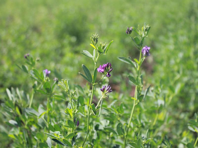 甘肃苜蓿草|甘肃苜蓿草粉|甘肃牧草|定西紫花苜蓿厂家-白盛塬
