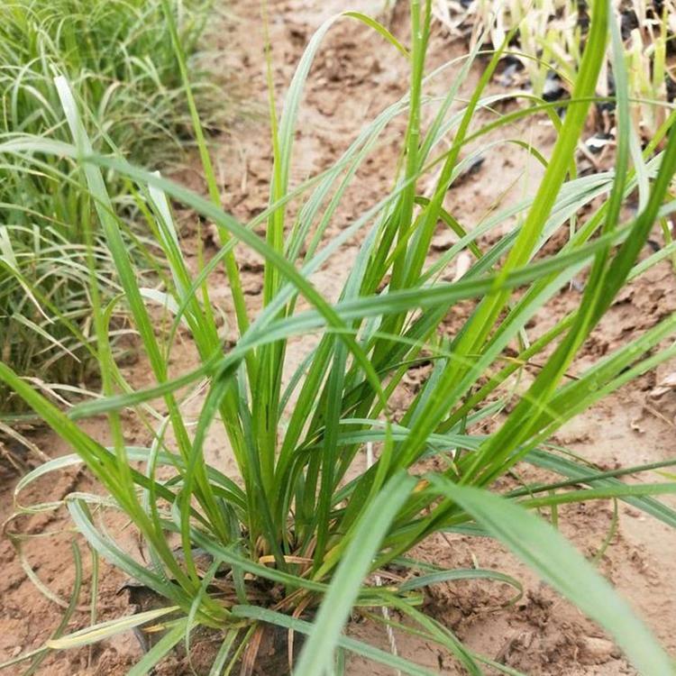 青绿苔草种植基地,青绿苔草格,青绿苔草批发