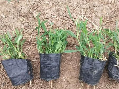 五彩石竹供应||五彩石竹种植基地
