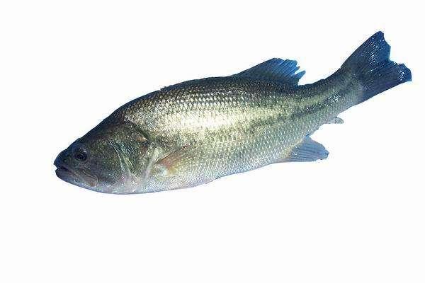 天津加州鲈鱼苗养殖技术-来同达水产,买优惠的加州鲈鱼养殖