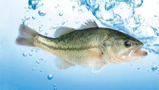 佛山加州鱸魚苗養殖技術-江門加州鱸魚養殖技術