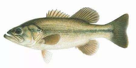 福建淡水养殖鲈鱼-哪里能买到口碑好的淡水鲈鱼
