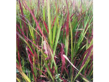 青州日本血草报价-哪里能买到高质量的日本血草