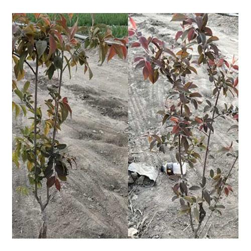 新疆红叶李营养钵苗-新疆品种好的红叶李供应