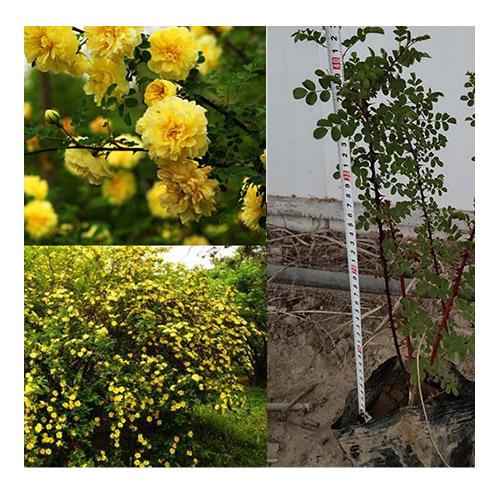 乌鲁木齐黄刺玫基地-哪里能买到黄刺玫