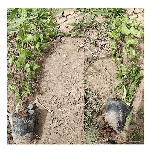 开原绿叶榆叶梅营养钵