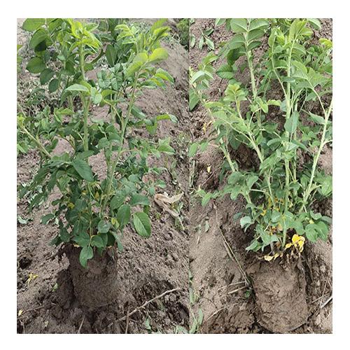 新疆四季玫瑰营养钵-哪里能买到品种好的四季玫瑰