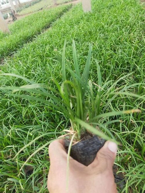 嶗峪苔草多少錢_哪里有提供高性價嶗峪苔草